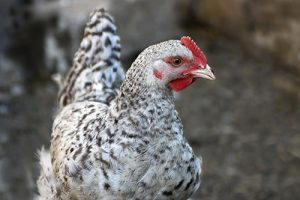 chicken1565273868